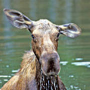 Close Wet Moose Art Print