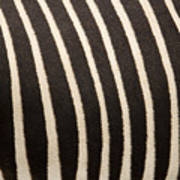 Closeup Of A Grevys Zebras Coat Equus Art Print