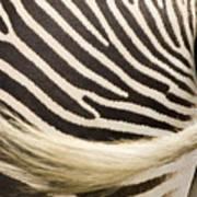 Closeup Of A Grevys Zebras Rear End Art Print