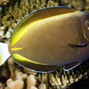 Closeup Of A Whitecheek Surgeonfish Print by Tim Laman
