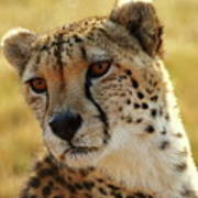 Closeup Of Cheetah Art Print