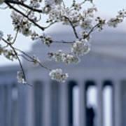 Closeup Of Cherry Blossoms Art Print
