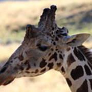 Closeup Of Giraffe Art Print