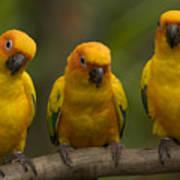 Closeup Of Three Captive Sun Parakeets Art Print