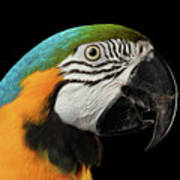 Closeup Portrait Of A Blue And Yellow Macaw Parrot Face Isolated On Black Background Art Print