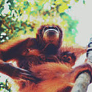 Closeup Portrait Of A Wild Sumatran Adult Female Orangutan Climbing Up The Tree And Holding A Baby Art Print