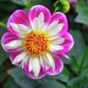 Closeup View Of A Dahlia That Was In The Cesky Krumlov Castle Gardens Art Print