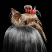 Closeup Yorkshire Terrier Dog, long groomed Hair Pity Looking back Art Print
