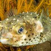 Closeupf Of A Yellowspotted Burrfish Art Print by Tim Laman