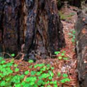 Clover And Redwood Art Print