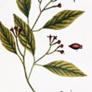 Cloves, 1735 Art Print