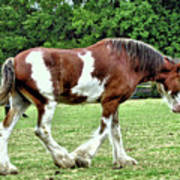 Clydesdale Art Print