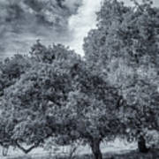 Coast Live Oak Monochrome Art Print