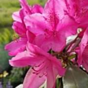 Coast Rhododendran- Washington State Flower Art Print