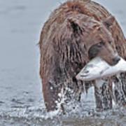 Coastal Brown Bear With Salmon  Art Print