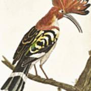 Cock Hoopoe Art Print