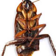 Cockroach Carcass Art Print