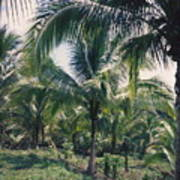Coconut Farm Art Print