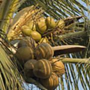 Coconuts Cluster At Los Tules Resort Art Print