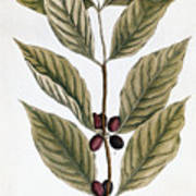 Coffee Plant, 1735 Art Print