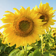 Colby Farms Sunflower Field Closeup Art Print