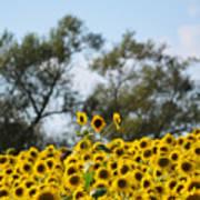 Colby Farms Sunflower Field Newbury Ma Standing Tall Art Print