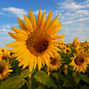 Colby Farms Sunflower Field Newbury Ma Sunrise Art Print