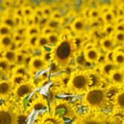 Colby Farms Sunflower Field Newbury Ma Art Print