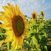Colby Farms Sunflower Field Side Art Print