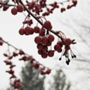 Cold Crabapples Art Print