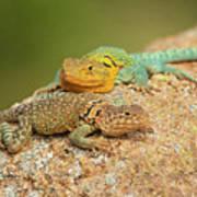 Collared Lizards Art Print