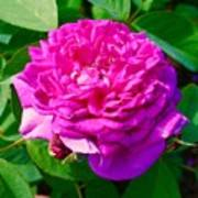 Color Of Rose Art Print