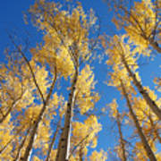 Colorado Aspen Art Print