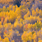 Colorado Autumn Trees Art Print