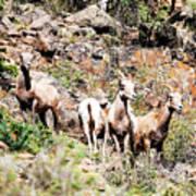 Colorado Mountain Sheep Art Print