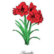 Colored Amaryllis. Botanical Art Print