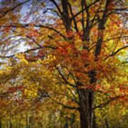 Colorful Autumn Tree In Southwest Michigan By Gun Lake Art Print