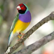 Colorful Gouldian Finch Art Print