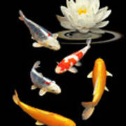 Colorful Koi With Water Lily Art Print