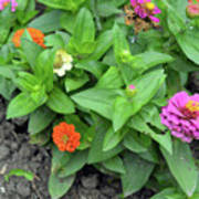 Colorful Pink And Orange Flowers In Green Leaves Bush In The Garden. Art Print