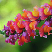 Colorful Snapdragon Art Print