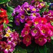 Colorful Spring Primrose By Kaye Menner Art Print