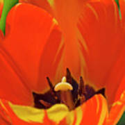 Colorful Tulip Art Print