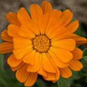 Colourful Orange Signet Marigold  Art Print