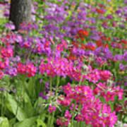 Colourful Primula Candelabra At Wisley Gardens Surrey Art Print