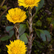 Coltsfoot Trio Art Print