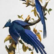 Columbia Jay, 1830, Art Print