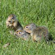 Columbian Ground Squirrels Art Print