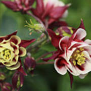 Columbine In Spring Art Print