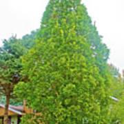 Columnar Oak Along White Pine Trail In Kent County, Michigan  Art Print